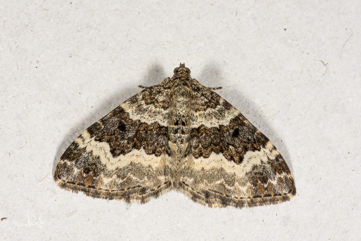 Gewone bandspanner / Common Carpet (Epirrhoe alternata)