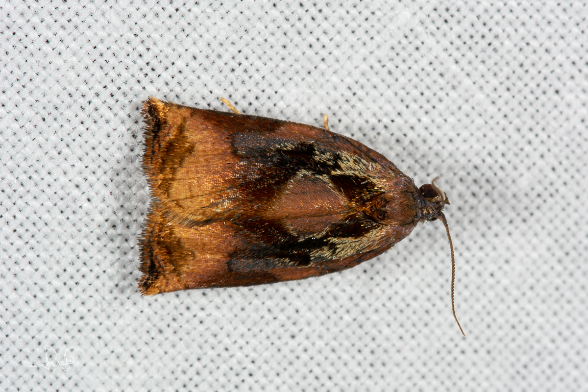 Grote appelbladroller / Large Fruit-tree Tortrix (Archips podana), micro