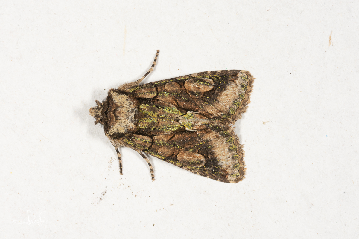 Meidoornuil / Green-brindled Crescent (Allophyes oxyacanthae)