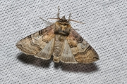 Peppel-orvlinder / Figure of Eighty (Tethea ocularis)