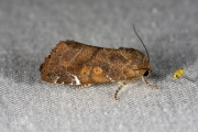 Donkere iepenuil / Lesser-spotted Pinion (Cosmia affinis)