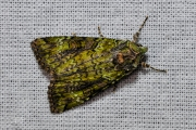 Bruine groenuil / Green Arches (Anaplectoides prasina)