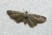 Smalvleugeldwergspanner / Narrow-winged Pug (Eupithecia nanata)