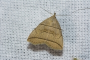 Boogsnuituil / Small Fan-foot (Herminia grisealis)