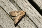 Gewone worteluil / Heart and Dart (Agrotis exclamationis)