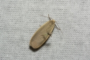 Glad beertje / Dingy Footman (Eilema griseola)
