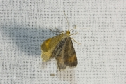 Gerimpelde spanner / Tawny-barred Angle (Macaria liturata)