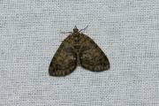 Groenbandspanner / May Highflyer (Hydriomena impluviata)