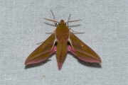 Groot avondrood / Elephant Hawk-moth (Deilephila elpenor)