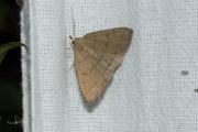 Lijnsnuituil / The Fan-foot (Herminia tarsipennalis)