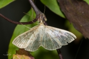 Parelmoermot / Mother of Pearl (Pleuroptya ruralis), micro