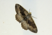 Variabele spikkelspanner / Mottled Beauty (Alcis repandata)