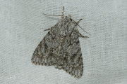 Bont schaapje / The Sycamore (Acronicta aceris)