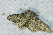 Peper-en-zoutvlinder / Peppered Moth (Biston betularia)