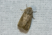 Volgeling / Lesser Yellow Underwing (Noctua comes)