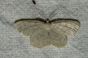 Witte grijsbandspanner / Common White Wave (Cabera pusaria)