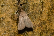 Witstipgrasuil / White-point (Mythimna albipuncta)