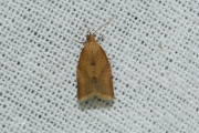 Tuinbladroller / Privet Tortrix (Clepsis consimilana), micro