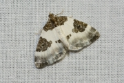 Blauwrandspanner / Blue-bordered Carpet (Plemyria rubiginata)
