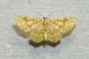 Geel spannertje / Small Yellow Wave (Hydrelia flammeolaria)