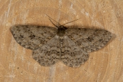 Gewone spikkelspanner / Small Engrailed (Ectropis crepuscularia)
