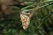 Dennenspanner / Bordered White (Bupalus piniaria)