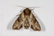 Variabele grasuil / Clouded-bordered Brindle (Apamea crenata)