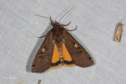 Huismoeder / Large Yellow Underwing (Noctua pronuba)
