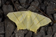 Vliervlinder / Swallow-tailed Moth (Ourapteryx sambucaria)