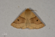 Kortzuiger / Scalloped Oak (Crocallis elinguaria)
