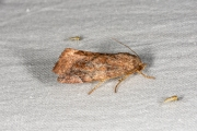 Maanuiltje / Lunar-spotted Pinion (Cosmia pyralina)