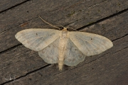 Schildstipspanner / Small Fan-footed Wave (Idaea biselata)