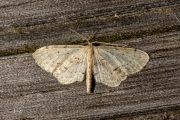 Vlekstipspanner / Single Dotted Wave (Idaea dimidiata)