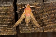 Klein avondrood / Small Elephant Hawk-moth (Deilephila porcellus)