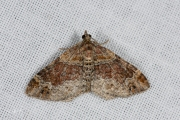 Bruine vierbandspanner / Red Twin-spot Carpet (Xanthorhoe spadicearia)