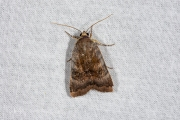 Open breedbandhuismoeder / Lesser Broad-bordered Yellow Underwing (Noctua janthe)