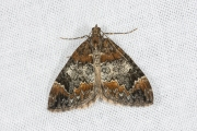 Schimmelspanner / Common Marbled Carpet (Dysstroma truncata)