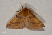 Gepluimde spanner / Feathered Thorn (Colotois pennaria)