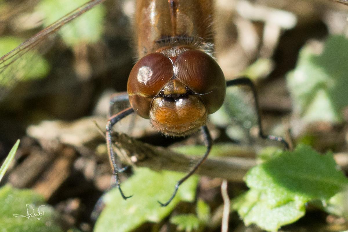 Bruinrode heidelibel zonder snor naast de ogen