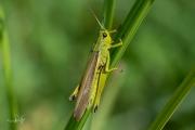 Moerassprinkhaan / Large Marsh Grasshopper (Stethophyma grossum)