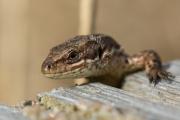 Levendbarende hagedis / Viviparous Lizard (Zootoca vivipara )