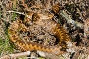 Adder / Common Viper (Vipera berus)