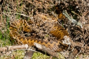 Adder / Common Viper (Vipera berus)