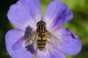 Gewone pendelvlieg /  European hoverfly (Helophilus pendulus)