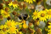 Veldhommel / White-tailed Bumblebee (Bombus lucorum)