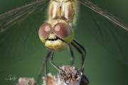 Steenrode heidelibel met zwarte snor naast de ogen