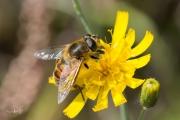 Blinde bij / Drone Fly (Eristalis tenax)