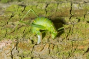 Struiksprinkhaan / Speckled Bush cricket (Leptophyes punctatissima)