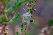 Groene schildwants /  Green Shield Bug (Palomena prasina)