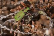 Groene zandloopkever / Green Tiger Beetle (Cicindela campestris)